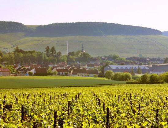 Chablis wijngaarden