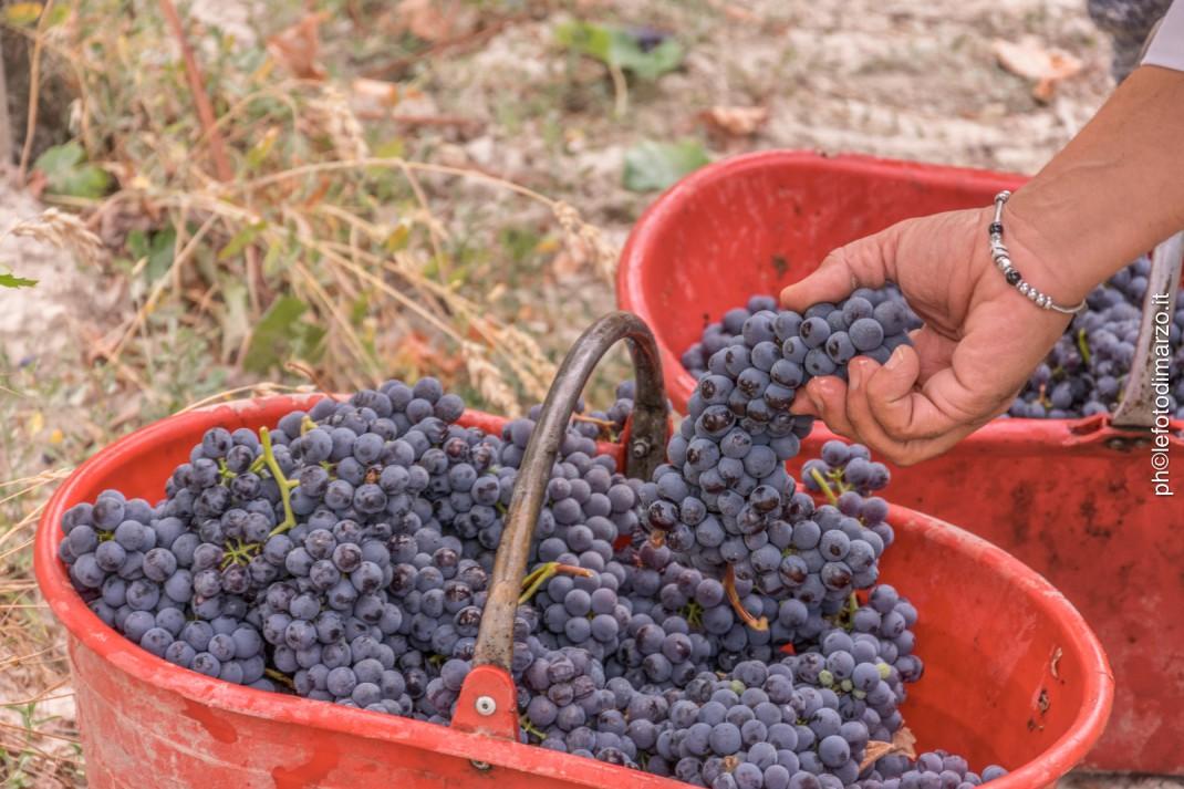 Nebbiolo druiven voor Barolo