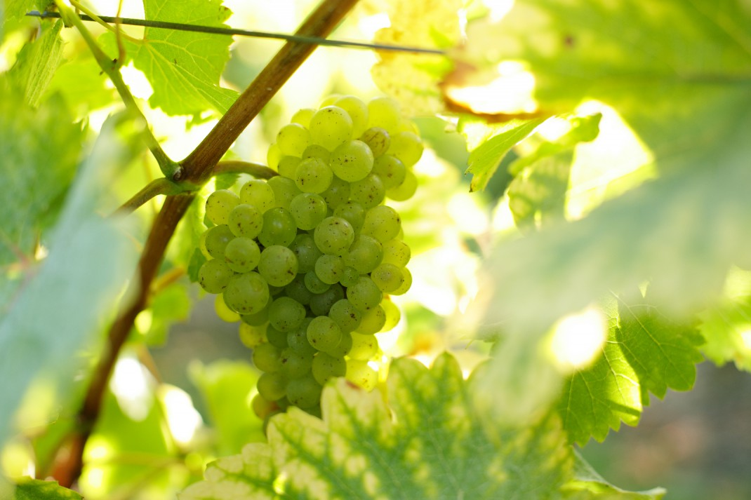 Chenin blanc druif