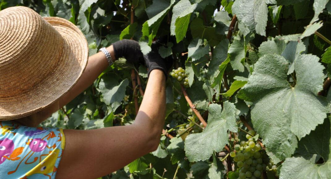 adopteer een wijngaard
