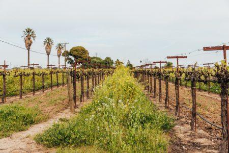 Wijngaard in Lodi met zinfandel